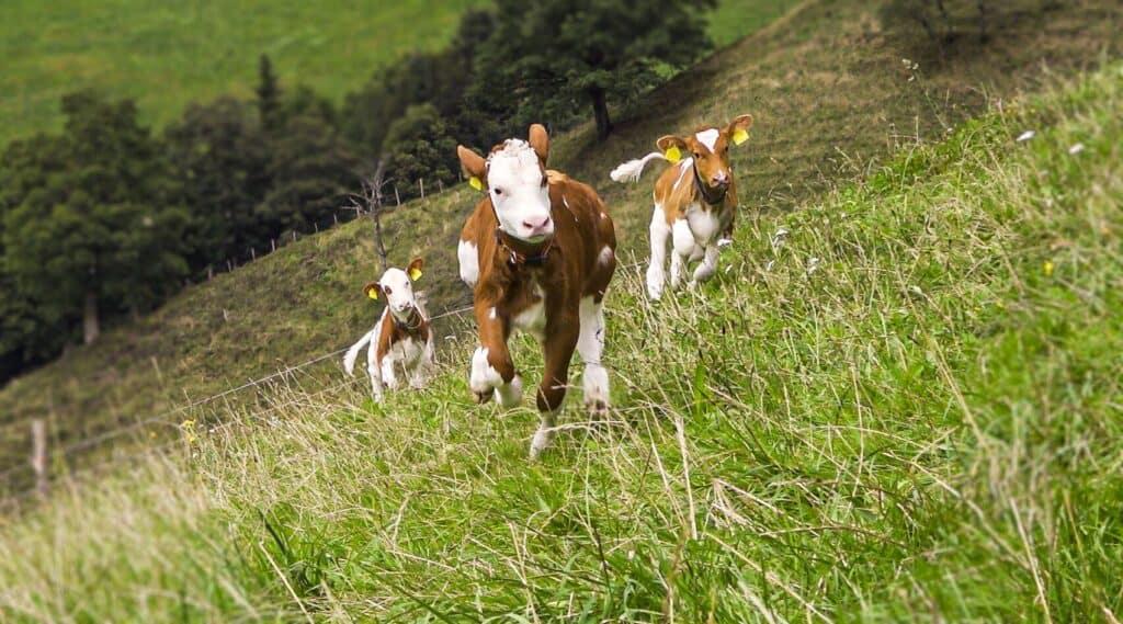 Kälber in der Milchproduktion