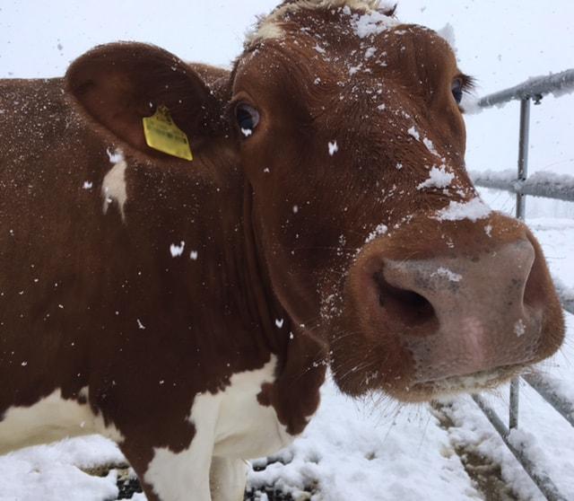 Kuh im Schnee